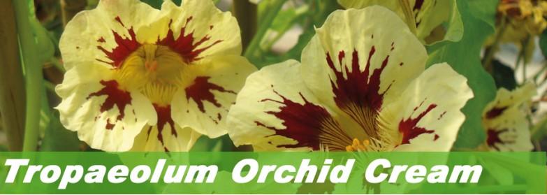 Tropaeolum Orchid Cream
