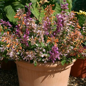 Agastache aurantiaca 'Fragrant Delight Mixed' ™