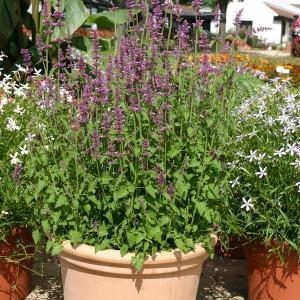 Agastache neomexicana 'Lavender Haze' ™
