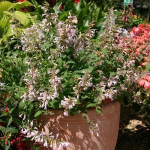 Agastache aurantiaca 'Lilac Sprite' ™