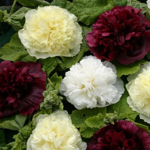 Alcea rosea 'Berry Cheesecake' ™
