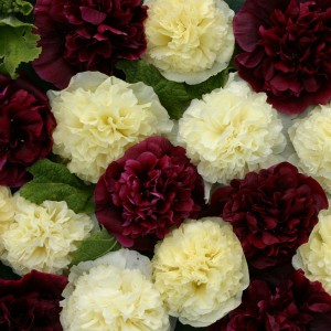 Alcea rosea 'Blackberry Sorbet' ™