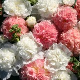 Alcea rosea 'Bride's Bouquet' ™