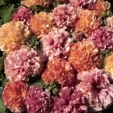 Alcea rosea 'Fruity Mixed ' ™