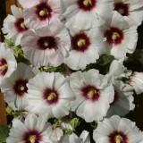 Alcea rosea 'Halo Blossom' ™