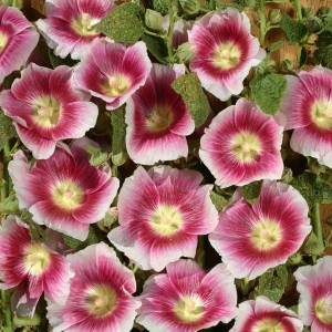 Alcea rosea 'Halo Blush' ™