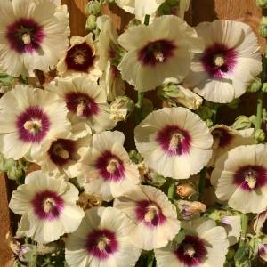 Alcea rosea 'Halo Cream' ™