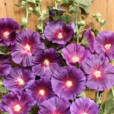 Alcea rosea 'Halo Lavender'