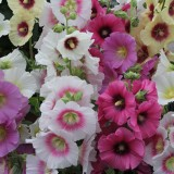 Alcea rosea 'Halo Mixed' ™