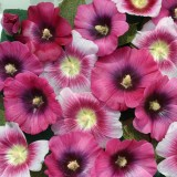 Alcea rosea 'Halo Perfect Pink' ™