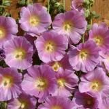 Alcea rosea 'Halo Pink' ™
