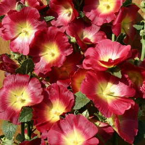 Alcea rosea 'Halo Red' ™