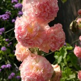 Alcea rosea 'Peaches 'n' Dreams' ™