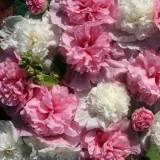 Alcea rosea 'The Bridesmaid' ™