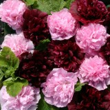 Alcea rosea 'Very Berry' ™