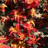 Amaranthus gangeticus 'Carnival'