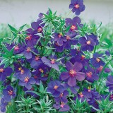 Anagallis monellii 'Blue Lights' ™