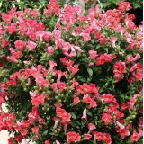 Antirrhinum pendula 'Magic Lanterns Peach' ™