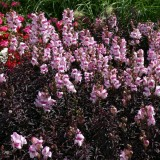 Antirrhinum nanum 'Bronze Dragon' ™