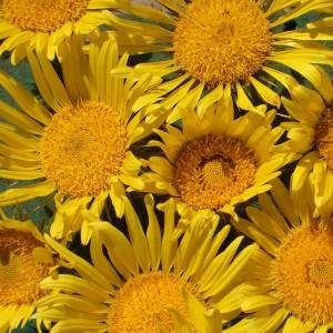 Berkheya multijuga 'Golden Spikes' ™