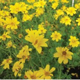 Bidens humilis 'Golden Nuggets'