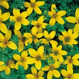 Bidens humilis 'Golden Eye' ™