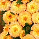 Calendula officinalis 'Apricot Twist' ™