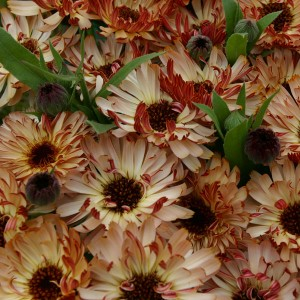 Calendula officinalis 'Bronzed Beauty' ™