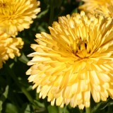 Calendula officinalis 'Lemon Cream' ™