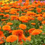 Calendula officinalis 'Mandarin Twist' ™