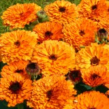 Calendula officinalis 'Orange Button' ™