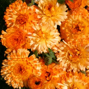 Calendula officinalis 'Tangerine Cream'