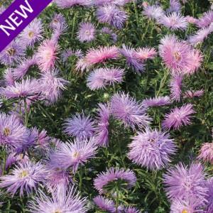 Callistephus chinensis 'Star Violet' ™