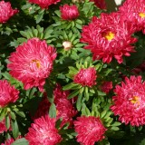 Callistephus chinensis 'Red Ribbon' ™