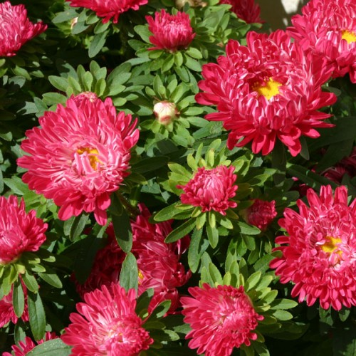 Callistephus chinensis 'Red Ribbon' | wholesale seeds and ... First Place Ribbon Red