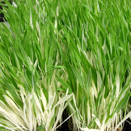Cat grass 39 tabby 39 wholesale seeds and vegetative for Short variegated grass