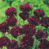 Centaurea cyanus 'Black Ball' ™