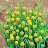 Cephalaphora aromatica 'Pineapples' ™
