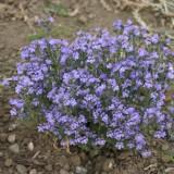 Chaenorrhinum origanifolia 'Blue Eyes' ™