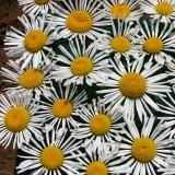 Chrysanthemum leucanthemum 'Silver Spoons' ™