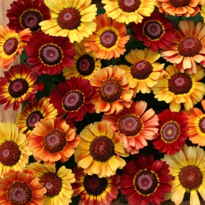Chrysanthemum carinatum 'Sunset' ™