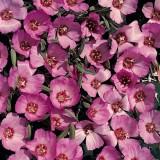 Clarkia speciosa 'Pink Buttercups' ™