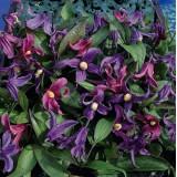 Clematis integrifolia 'Bells' ™