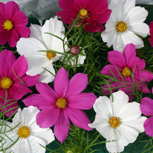 cosmos bipinnatus 39 cosmix 39 wholesale seeds and. Black Bedroom Furniture Sets. Home Design Ideas