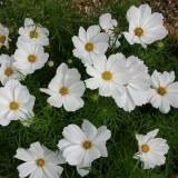 Cosmos bipinnatus 'Cosmix White'