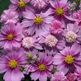 Cosmos bipinnatus 'Pink Popsocks' ™