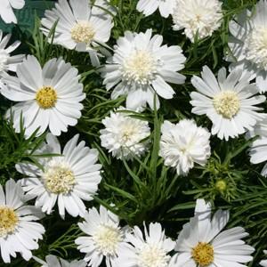 Cosmos bipinnatus 'White Popsocks'