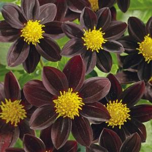 Dahlia variabilis 'Black Beauty' ™