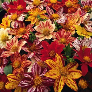 Dahlia variabilis 'Fireworks' ™