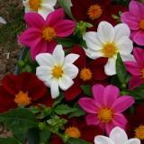 Dahlia variabilis 'Mardi Gras' ™